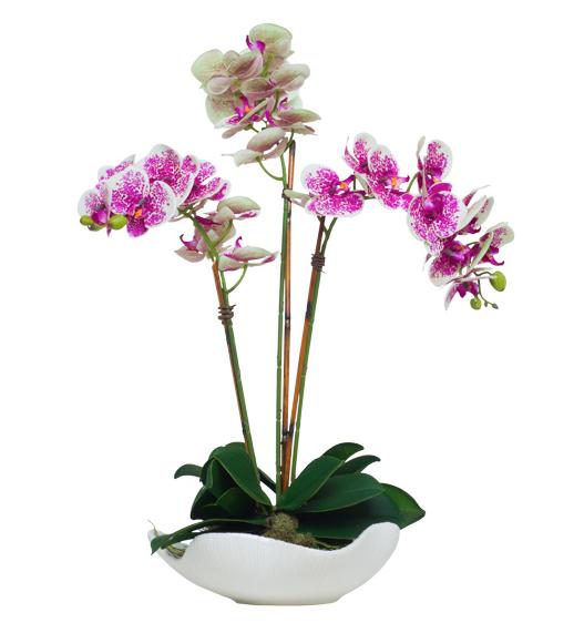 Triple CreamFuchsia Phalaenopsis